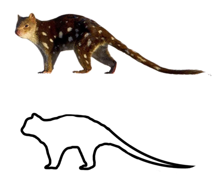 quoll template