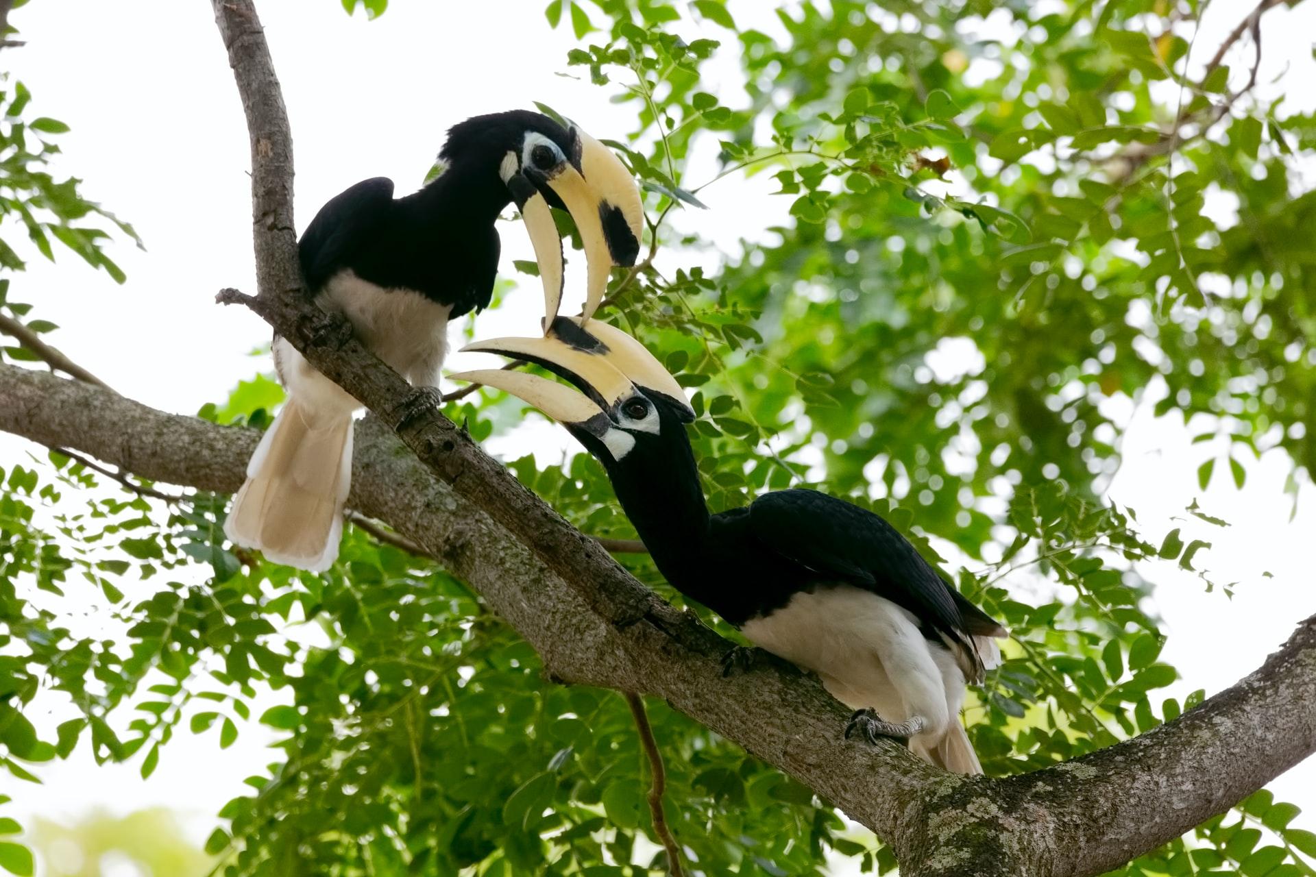 Hornbills in the trees